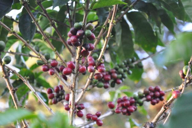 Keř kávovníku - arabika