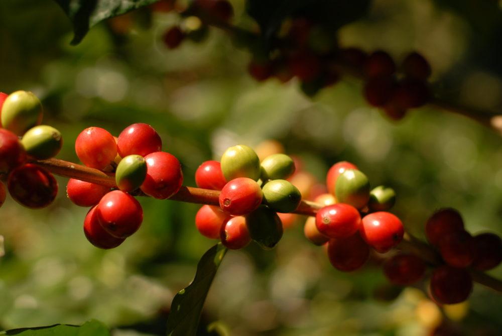 Třešně kávovníků dozrávají postupně